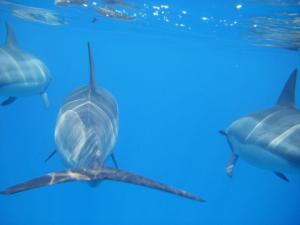 Spinner Dolphins photo by Julia Kunze